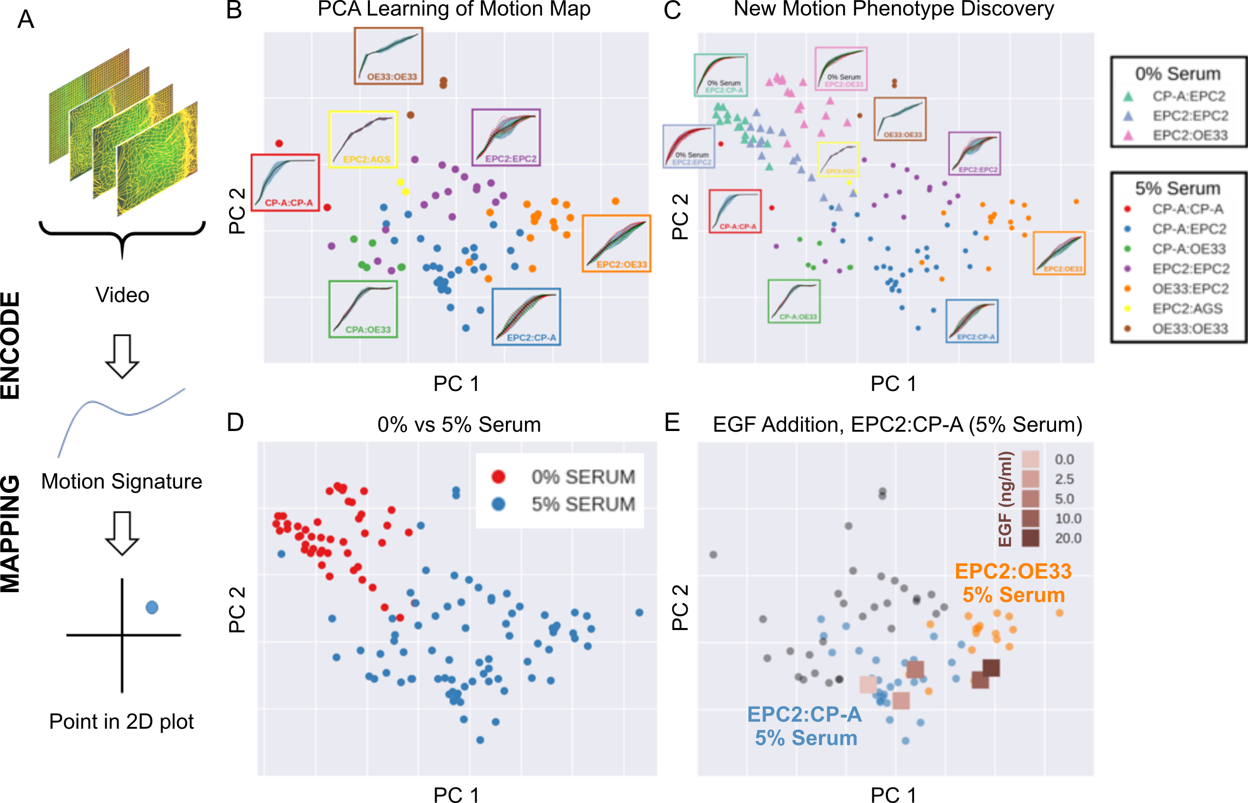 A multi-part figure summarising the MOSES computational framework. (a) Data from a microscopy video is extracted and encoded to generate a motion signature which is then mapped to a point on a 2D plot. (b) Principal component analysis of the motion map shows how motion signatures from videos taken with different oesophageal cell lines cluster separately. (c) These cell lines grown under different conditions (0 v 5 % serum) have different motion signatures that cluster differently on a PCA plot, indicating the potential for new motion phenotype discovery. (d) A PCA plot of the motion signatures from 0% v 5% serum growth conditions show that they cluster almost completely separately. (e) When increasing amounts of EGF is added to the growth medium of the squamous-columnar EPC2:CP-A cell line, the EPC2:CP-A motion dynamics become increasingly similar to squamous-cancer EPC2:OE33 above 5 ng/ml, as evidenced by the square points moving from the area of blue circular EPC2:CP-A points on the PCA plot into the area of orange circular EPC2:OE33 points.